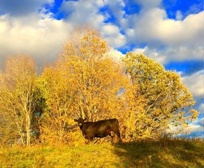 Cattle enjoying the sun shining through on a cloudy day