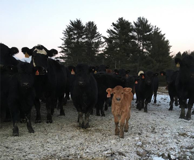 Herd of cattle and a baby calf