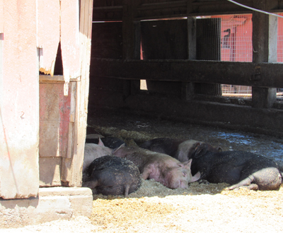 Pigs enjoying the shade