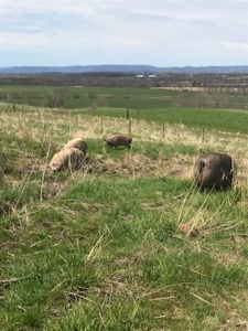 Simply Grazin' hogs in pasture