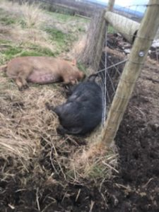 Pigs napping in mud and hay