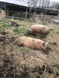 Rooting and wallowing pigs