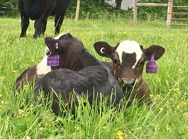 best friend calves born 3 days apart