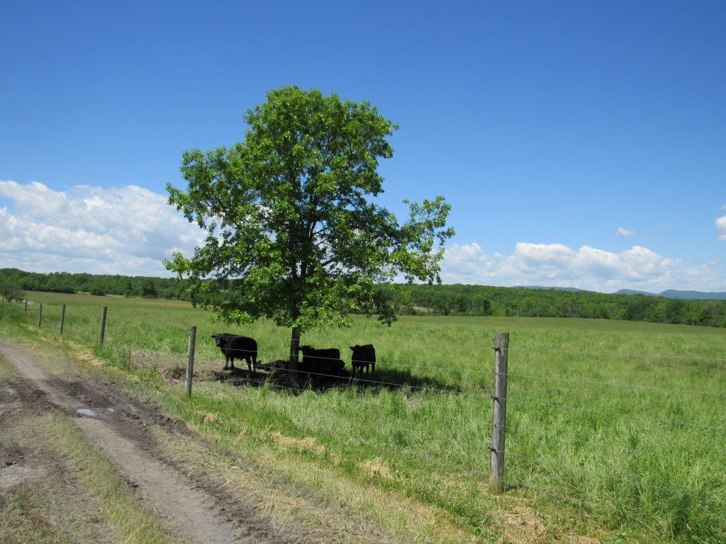 cattle under shady tree