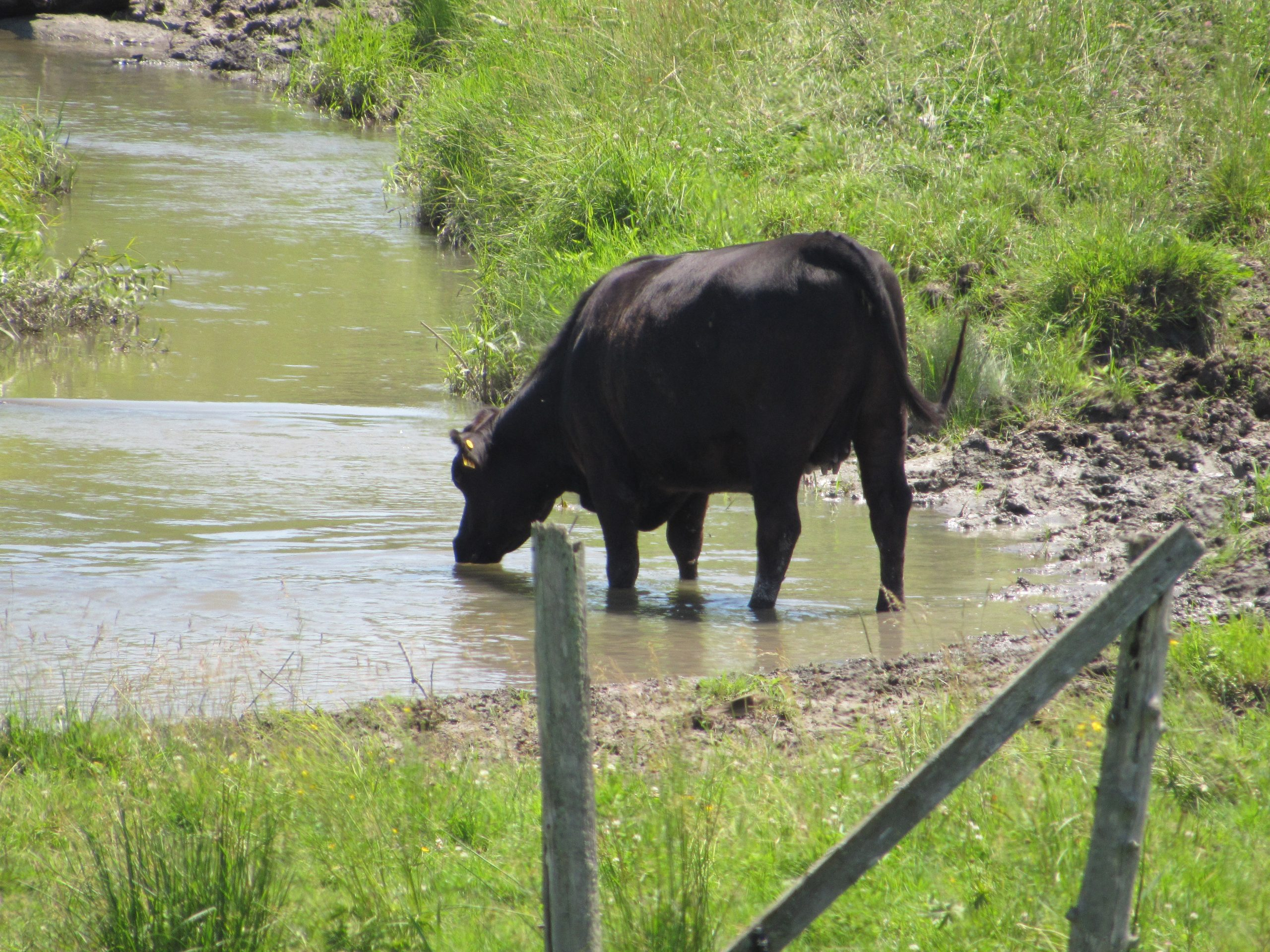 Cattle drinking from stream