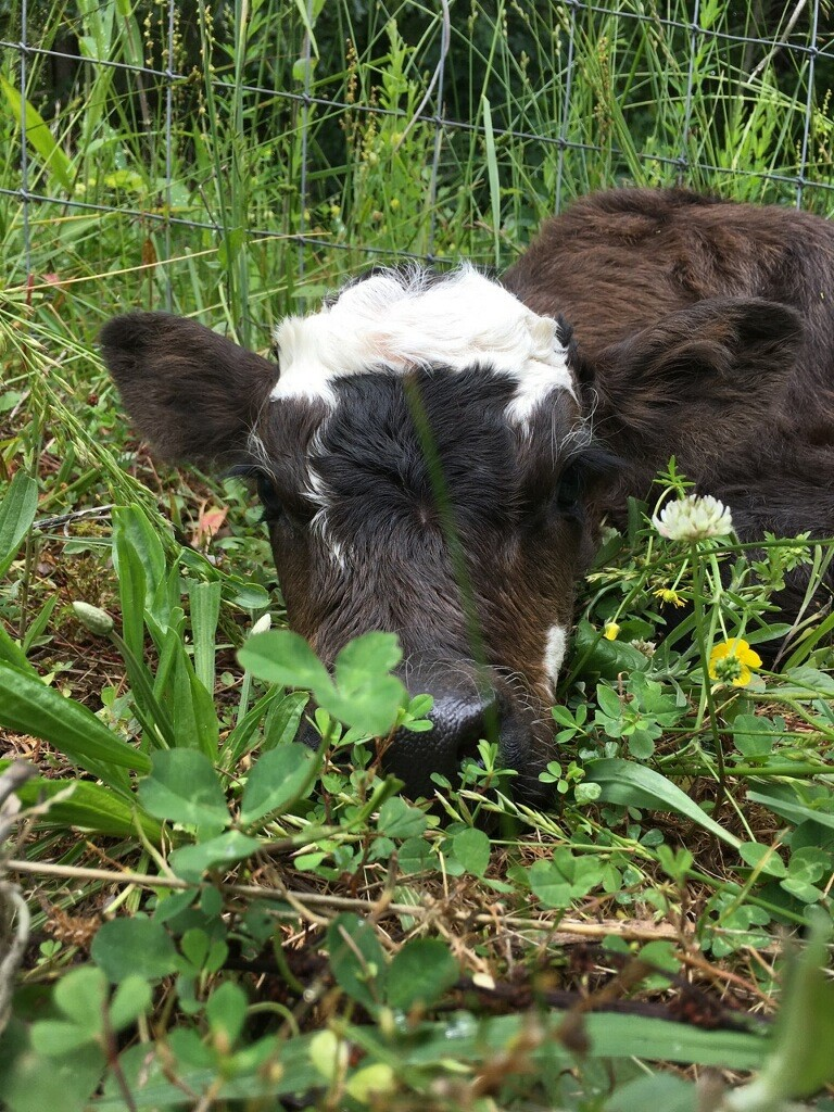 Little heifer named Cotton Top