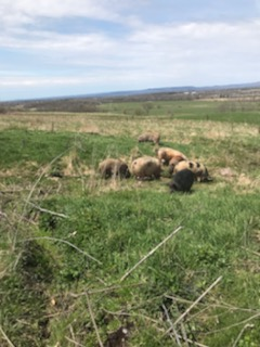 Simply Grazin' pigs in pasture