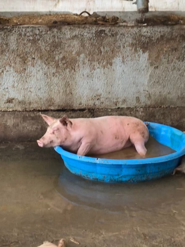 Simply Grazin' pig in a pool