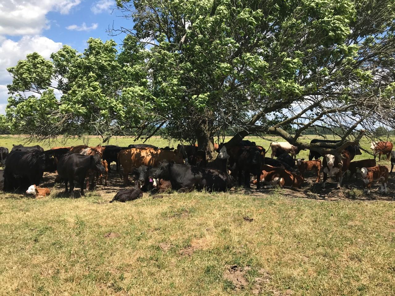 Simply Grazin' NY farm cattle under shade tree