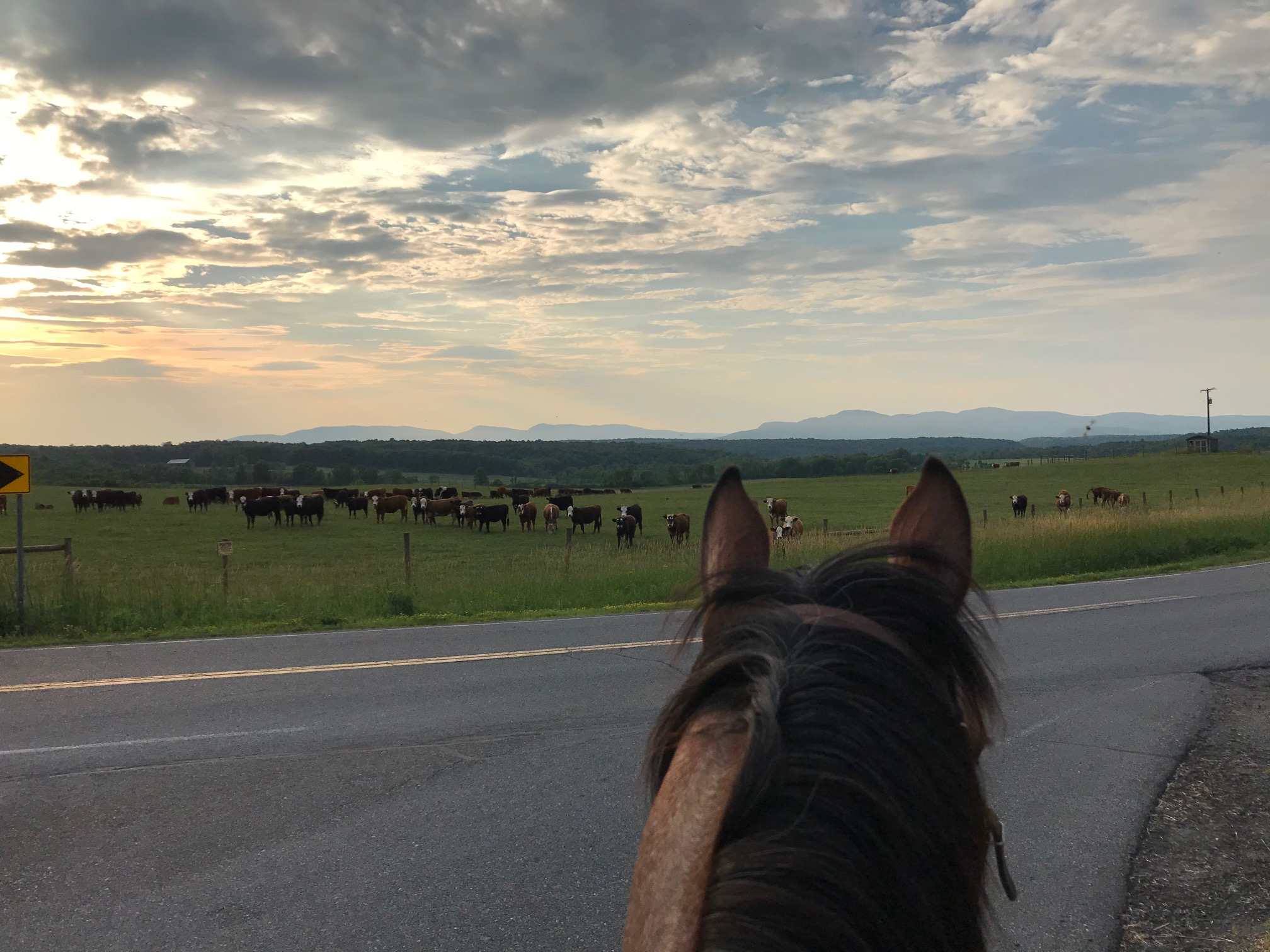 horses helping with moving cattle to different pastures