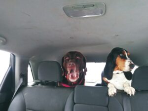 Duke and Penny- Simply Grazin' farm dogs going for a ride in the car