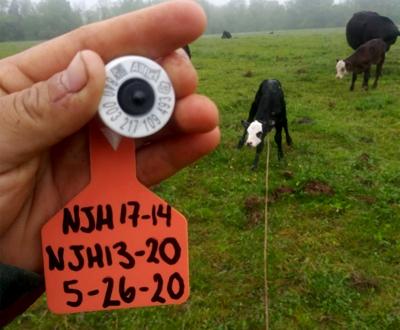 Calf processing EID tag
