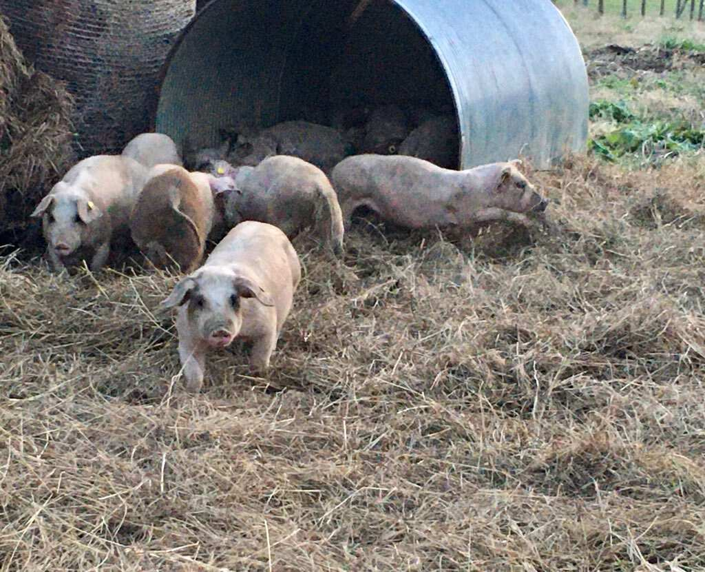 Baskerville, VA farm feeder pigs
