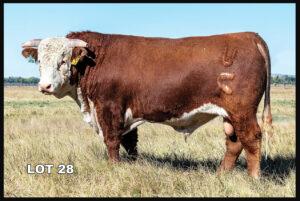 Van Newkirk Hereford Bull Lot 28