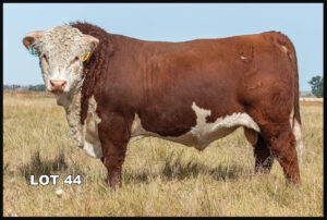 Van Newkirk Hereford Bull Lot 44