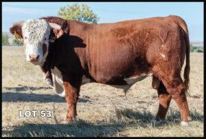 Van Newkirk Hereford Bull Lot 53