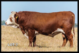 Van Newkirk Hereford Bull lot 7