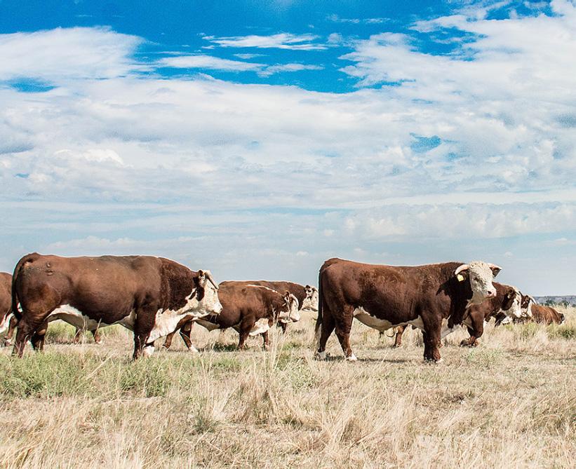 van newkirk hereford bulls