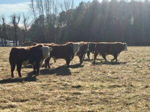 New Hereford Bulls at Simply Grazin' VA farm
