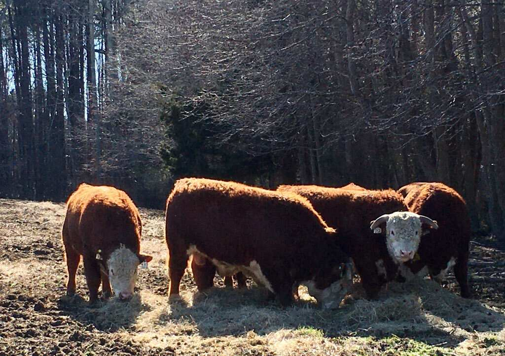 New Hereford Bulls at Simply Grazin' VA farm