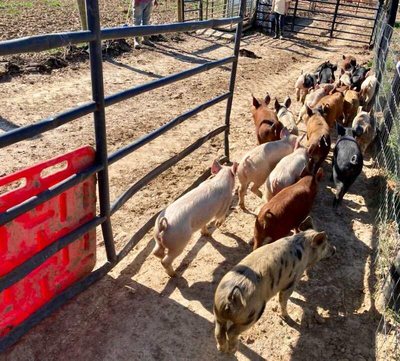 Baskerville, VA farm received 55 new pigs