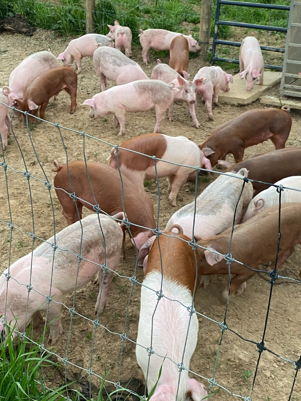 40 pigs delivered to our Baskerville, VA farm