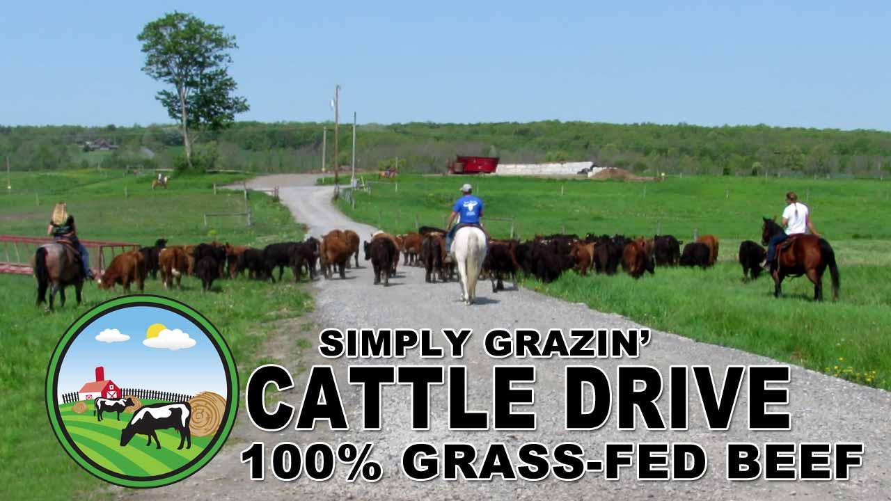 Cattle Drive Simply Grazin' NY Farm