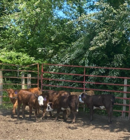 VA calves waiting to get GAP approved fly tags