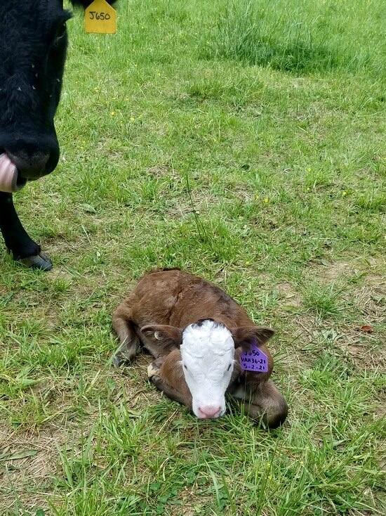 First calf born in May 2021 at VA farm