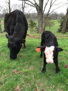 Simply Grazin' New Jersey farm Spring calf