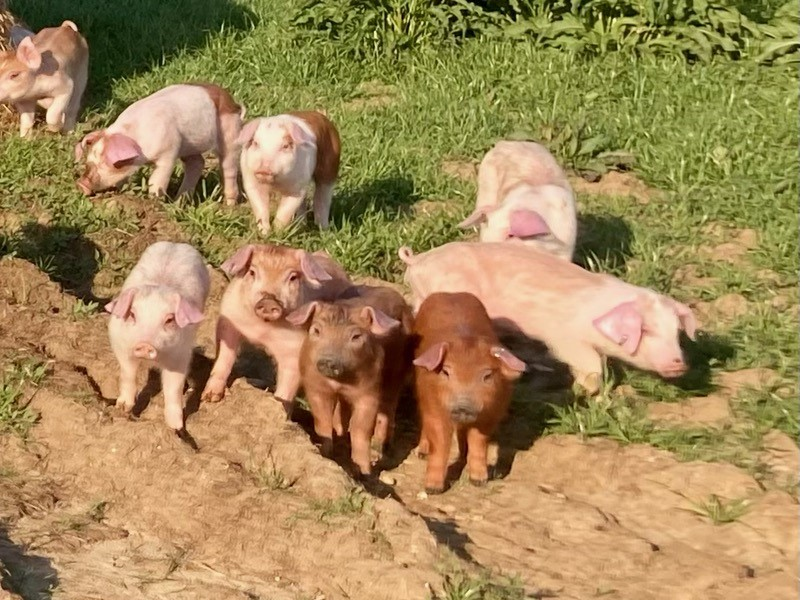 Pig delivery to VA farm brought from PA by Simply Haulin'