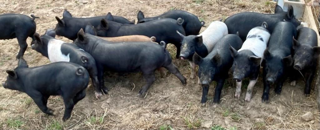 Glade Springs, VA pig delivery