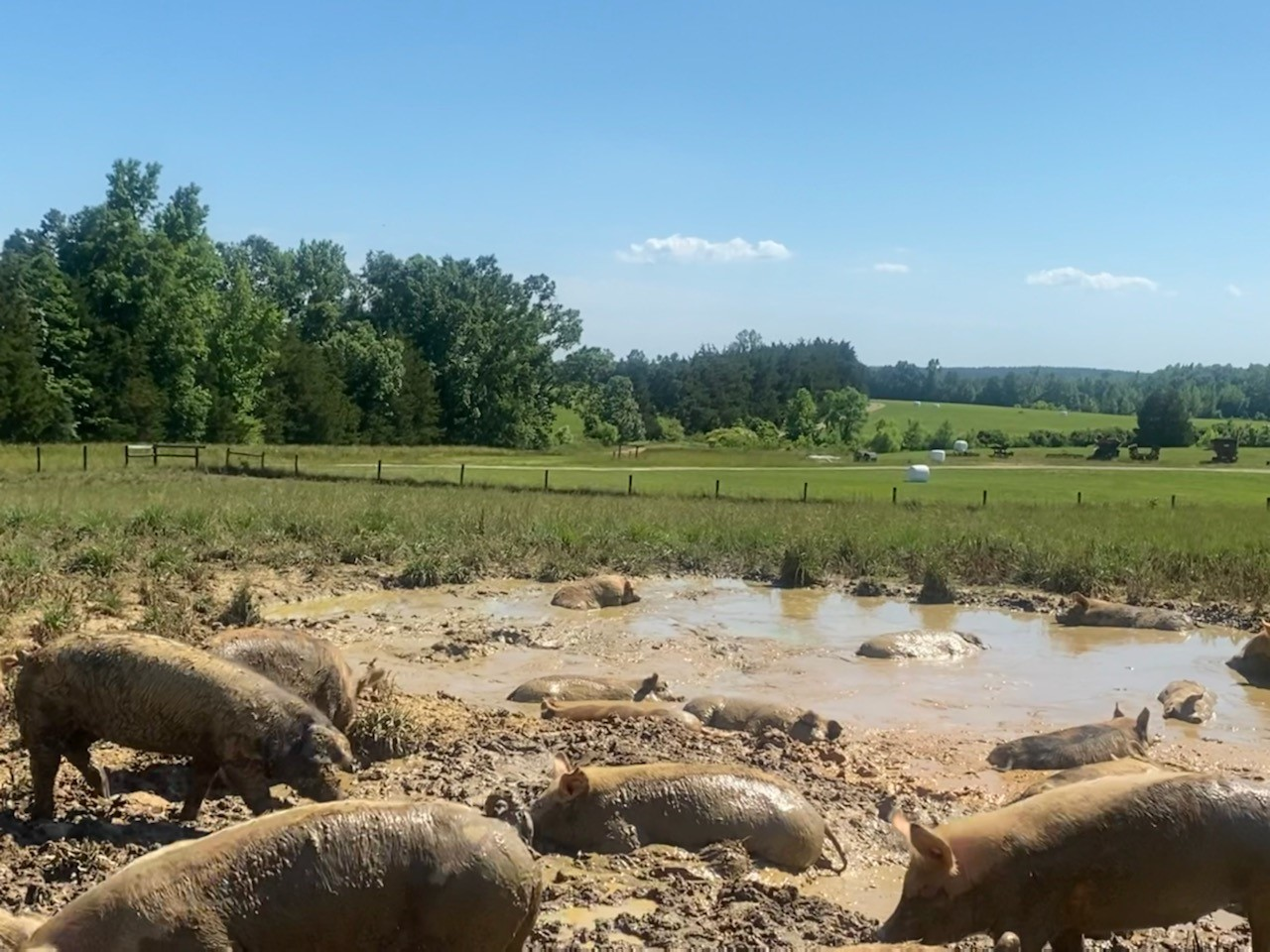 VA farm pigs wallowing in the mud hole