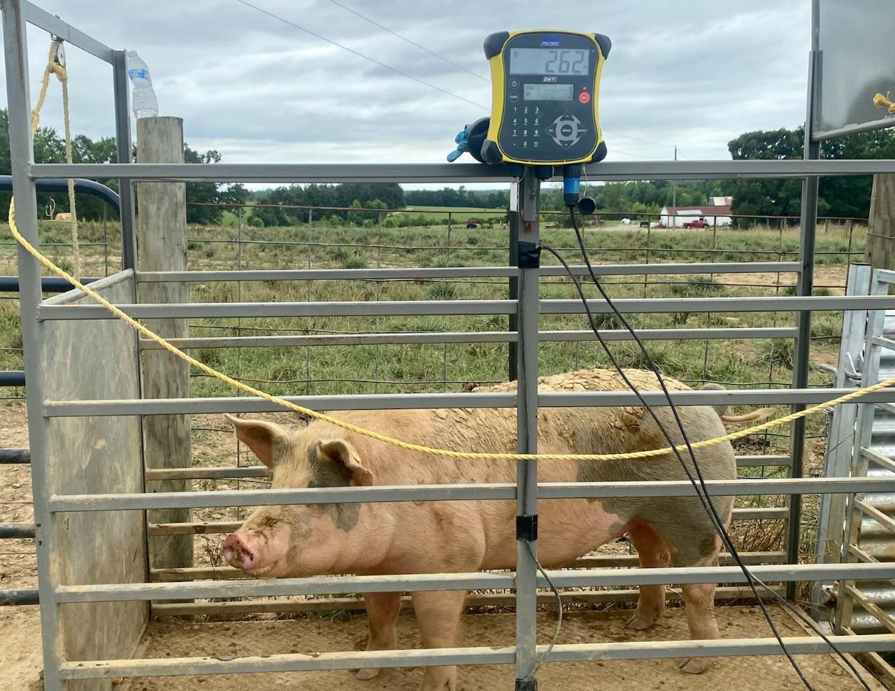 Pig weighing station in Baskerville, VA