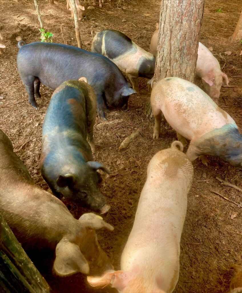 Simply Grazin' Lacrosse, VA farm pigs enjoying the shade