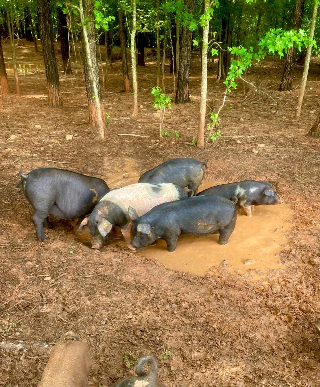 pigs happy in mud holes at our Lacrosse, VA farm