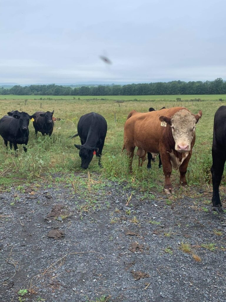 Burt the bull in with first-calf heifers