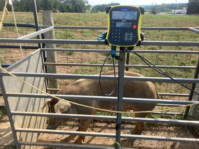 VA farm hog being weighed