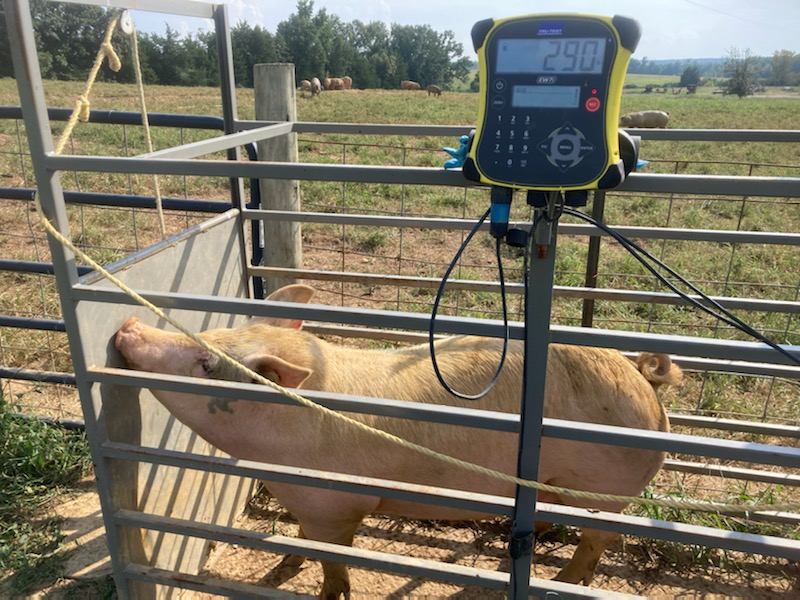 VA farm hogs being weighed