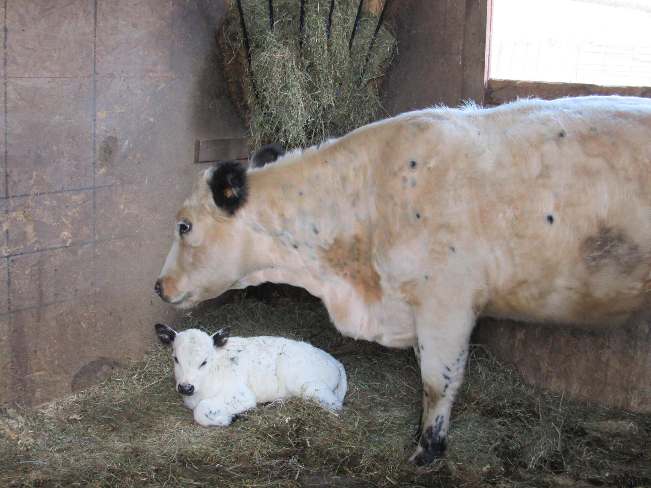First year heifer and her surprise calf